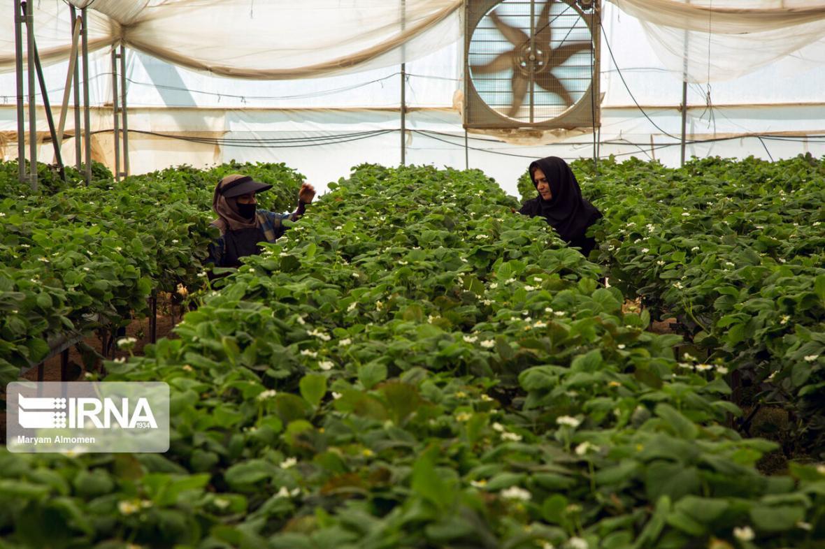 خبرنگاران گلخانه های کردستان 547 میلیارد ریال تسهیلات گرفتند