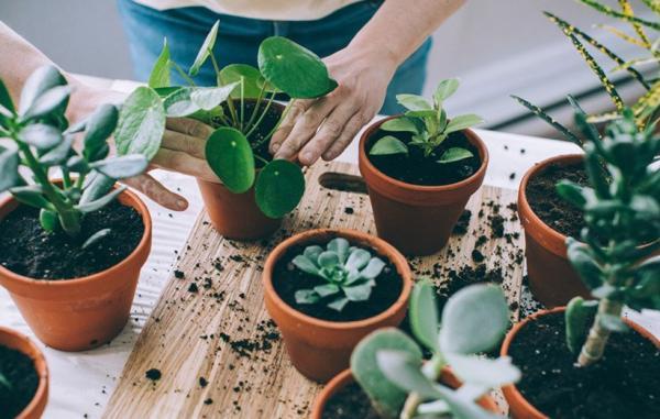 آموزش گام به گام قلمه زدن و تکثیر گیاهان آپارتمانی