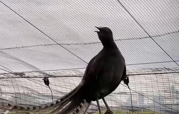 پرنده ای که مقلد صدای گریه نوزاد است!