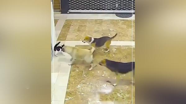 اقدام دلیرانه گربه برای نجات دوستش از حمله سه سگ
